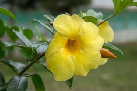 Yellow Hibiscus blooming in the tropical garden