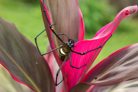 Big spider Nephila Pilipes weaving a web in the jungle on a colorful flower