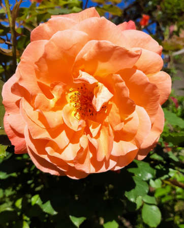 an orange rose, flowers for Valentine's Day, a gift, spring flowers in the botanical garden Zdjęcie Seryjne