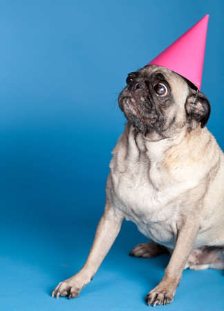 A pug dog sitting in front of a blue background and wearing a pink party hat
