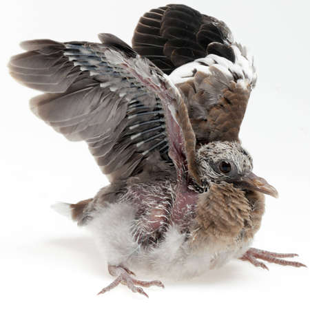 undeveloped: A fledgling pigeon flapping its wings.