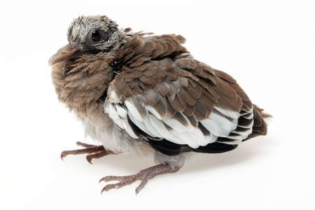 A fledgling pigeon with immature pin feathers.