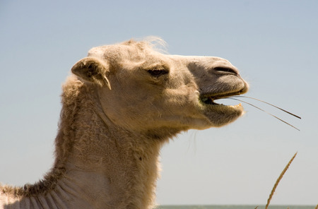 chewing: Head chewing camel