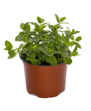 Bush of Moroccan mint in a pot on a white background Stock Photo