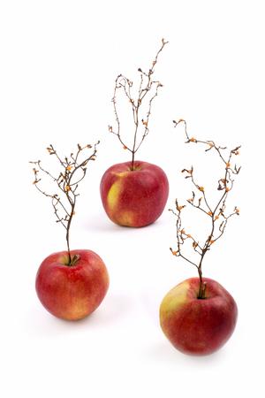 Three ripe red apples with a plant like a tree Фото со стока