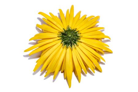 흰색 배경에 노란색 국화 꽃의 뒷면 스톡 콘텐츠