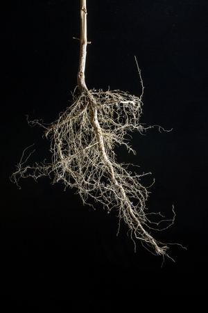 Dry root of a plant on a black background
