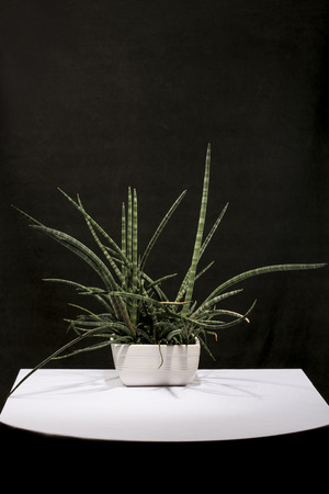 Houseplant in a pot on a table against a dark background 版權商用圖片