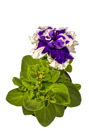 Petunia with purple flowers in a pot on a white