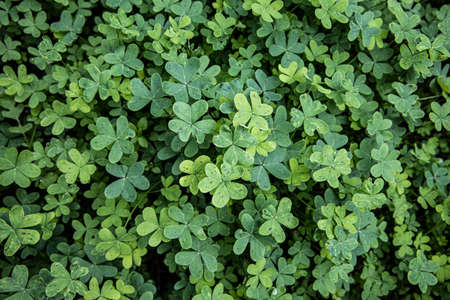 Green clovers contrasting with a black background.