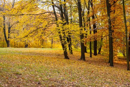 Autumn forest with fallen yellow leaves on the grass