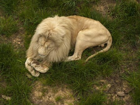 White lion lies on the grass in his aviary in the zoo Banco de Imagens