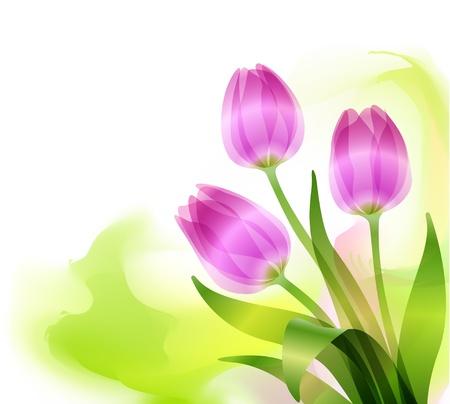 primavera: Beautiful purple tulips on white background
