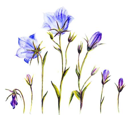 Watercolor painting of the bell flowers isolated on white photo
