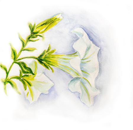 petunia: White petunia flowers  Watercolor Stock Photo