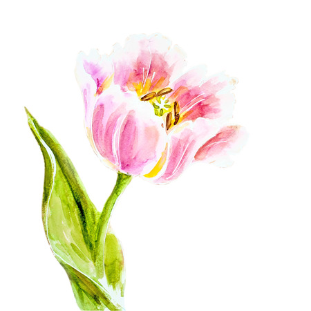 tulips isolated on white background: Pink tulips, watercolor painting. Stock Photo