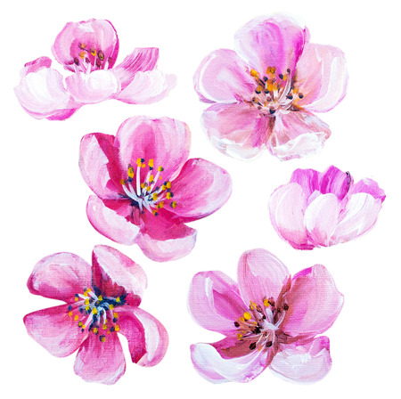 flor de sakura: Flores de primavera sakura aislado en blanco. Pintura al �leo Foto de archivo