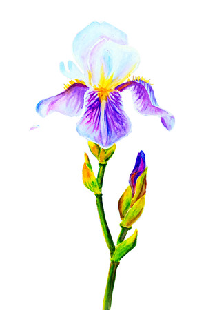 iris: Irises isolated on white, watercolor painting