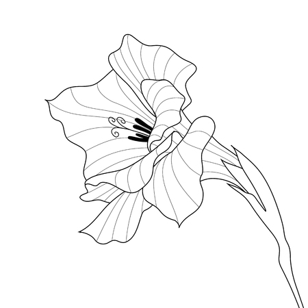 white blossom: Black and white line-art vector. Flower gladiolus. Contour graphic art