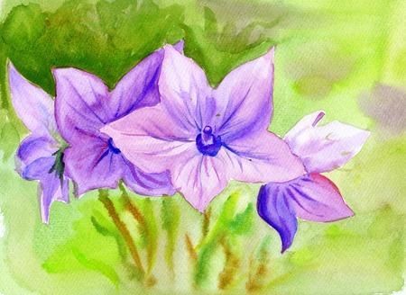 campanula: Hand drawn Watercolor painting Campanula, flowers Stock Photo