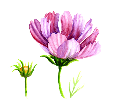 purple flowers: Watercolor hand drawn painting Cosmos flowers