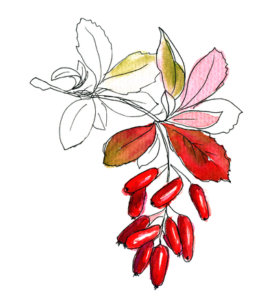 barberry: Hand drawn sketch of barberry branch colored with watercolors Stock Photo