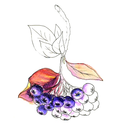 chokeberry: Liner sketch  Watercolor painting Chokeberry, isolated on white background Stock Photo