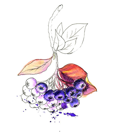 berries: Liner sketch  Watercolor painting Chokeberry, isolated on white background Stock Photo