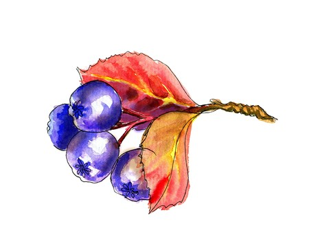 aronia: Liner sketch  Watercolor painting Chokeberry, isolated on white background Stock Photo