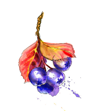 Liner sketch  Watercolor painting Chokeberry, isolated on white background Stock Photo