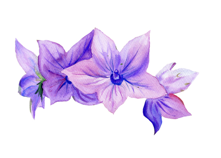campanula: Hand drawn Watercolor painting Campanula, flowers  isolated on white