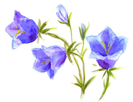 campanula: Hand Painted Watercolor Flower Bellfrlowers. Wet painting illustration