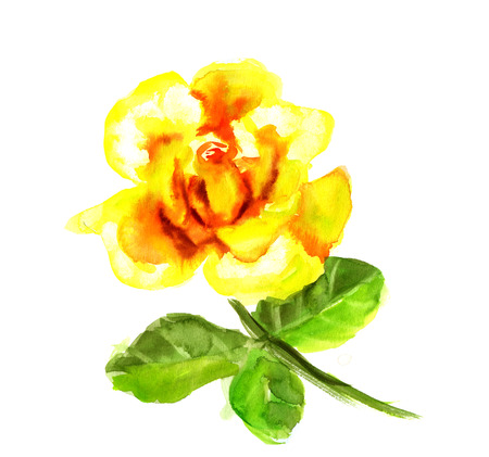 yellow rose: Beautiful Yellow Rose flower, watercolor wet drawing illustration