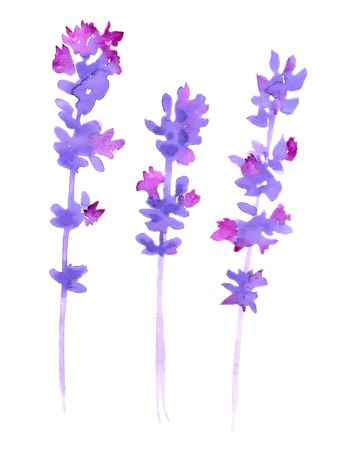 herb garden: Watercolor lavender set. Lavender flowers isolated on white background.