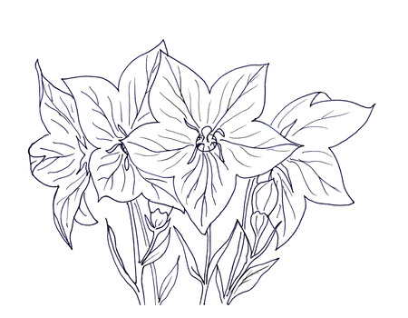 bellflower: Hand ink drawing bellflower card isolated on white background.