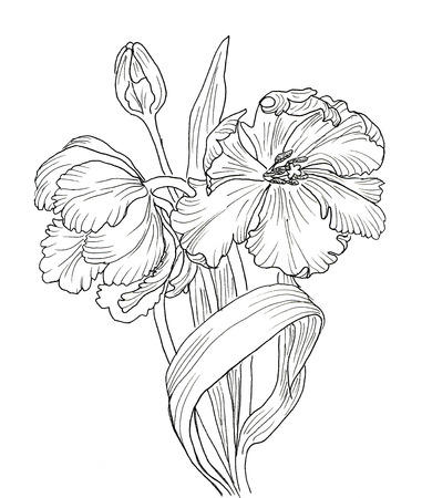 flower sketch: Line ink drawing of tulip flowers. Black contour on white background Stock Photo
