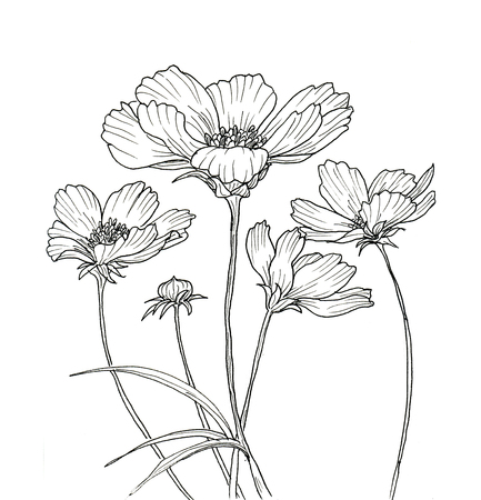 Line ink drawing of cosmos flower. Black contour on white background