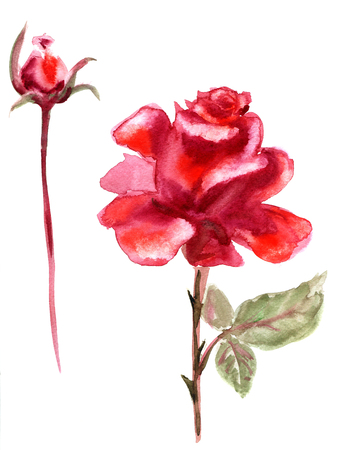 vintage rose: Beautiful Red Rose flower, watercolor wet drawing illustration Stock Photo