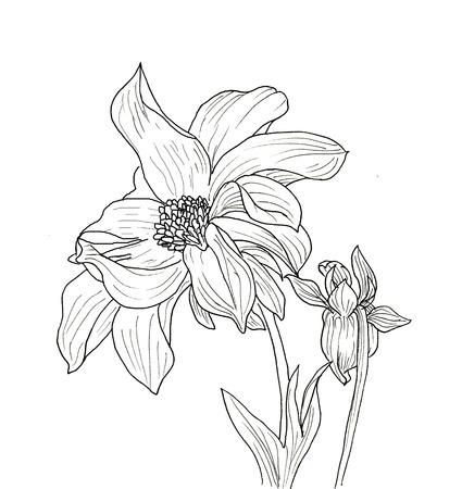 dahlia: Dibujo a tinta Línea de flor de la dalia. Contorno negro sobre fondo blanco Foto de archivo