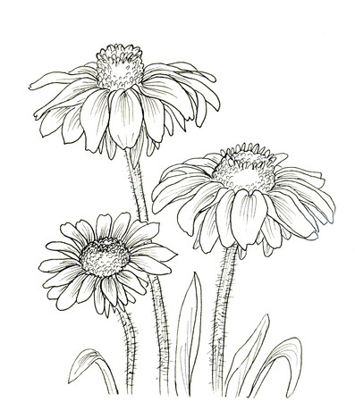 contours: Line ink drawing of flowers Rudbeckia hirta. Black contour on white background