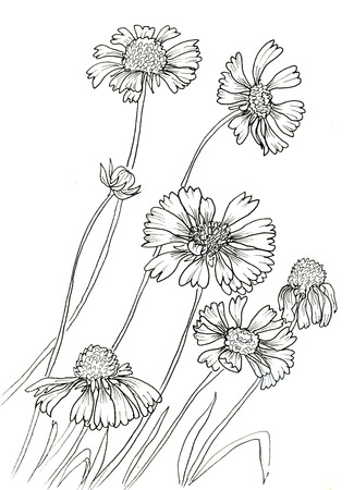 flower sketch: Line ink drawing of flowers Rudbeckia hirta. Black contour on white background