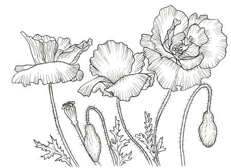 poppy: Línea de la tinta de la flor de la amapola. el contorno negro sobre fondo blanco