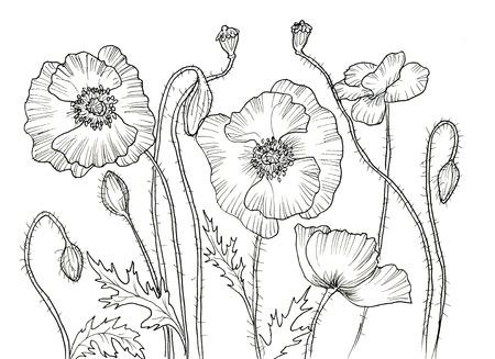 dessin au trait: Ligne dessin � l'encre de la fleur de pavot. Contour noir sur fond blanc
