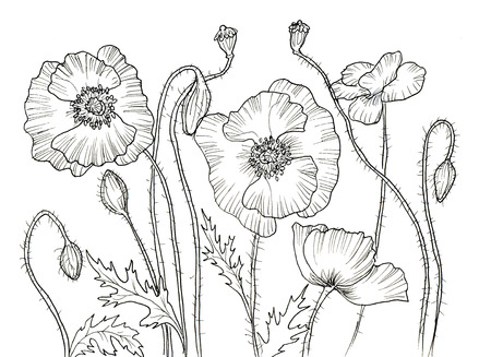 black and white plant: Line ink drawing of flower Poppy. Black contour on white background