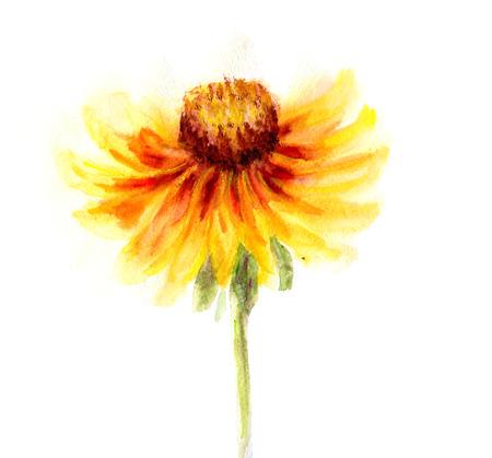 hirta: Watercolor drawing of flower Rudbeckia hirta Stock Photo