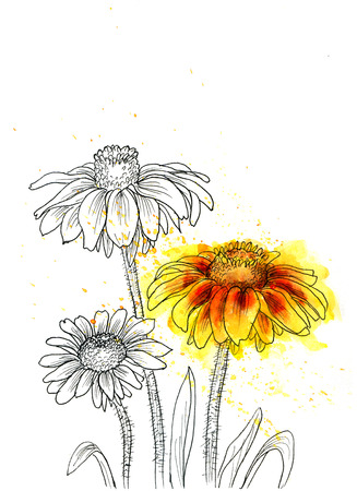 ink drawing: Line ink drawing of flowers Rudbeckia hirta. Black contour on white background