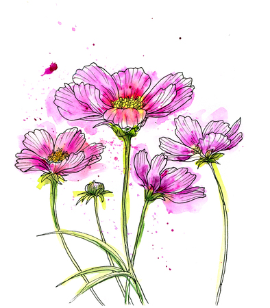 cosmos: Line ink drawing of cosmos flowerwith watercolor. Black contour on white background