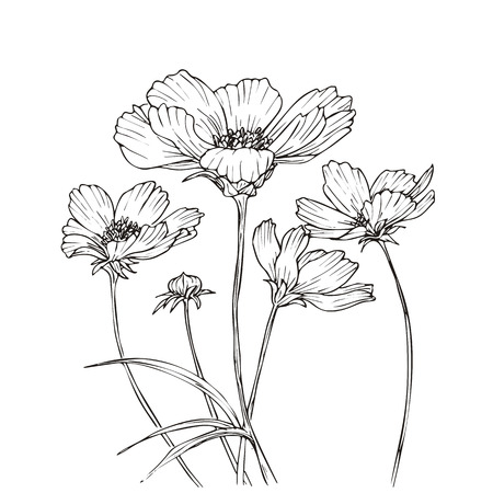 Hand drawn vector with cosmos flowers. Floral natural design. Graphic, sketch drawing.