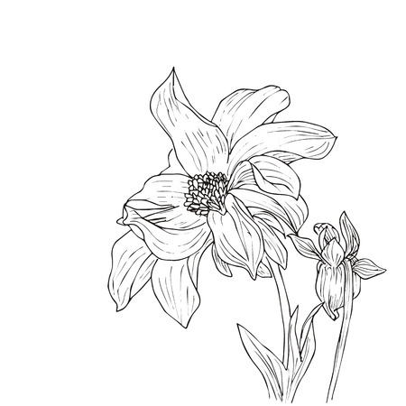 dahlia: Hand drawn vector with dahlia. Floral natural design. Graphic, sketch drawing.