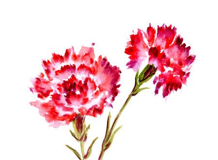 在白色背景的水彩两红色花康乃馨